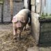 New pig enclosure to be built